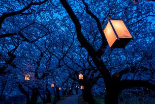 夕月神社の夜桜の写真素材 [FYI03224106]