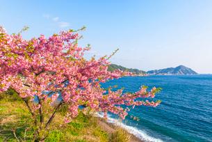 津久見市四浦の河津桜の写真素材 [FYI03224110]