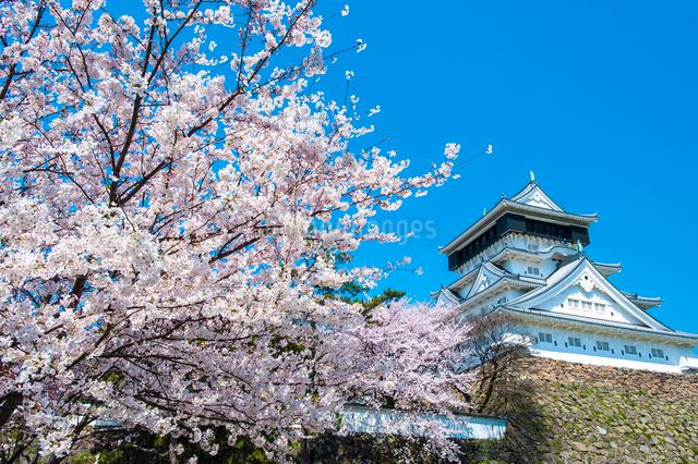 小倉城の桜の写真素材 [FYI03224113]