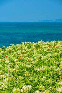 夏井ヶ浜のはまゆうの写真素材 [FYI03224114]