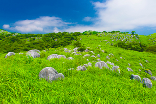平尾台の羊郡原の写真素材 [FYI03224120]