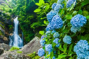 見帰りの滝のあじさいの写真素材 [FYI03224131]