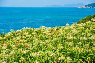 夏井ヶ浜のはまゆうの写真素材 [FYI03224150]