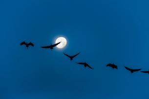 出水のツルと月の写真素材 [FYI03224156]