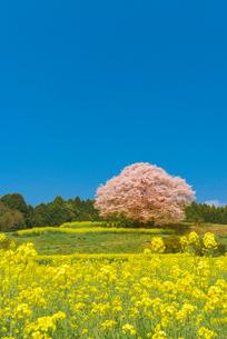 馬場の山桜の写真素材 [FYI03224158]