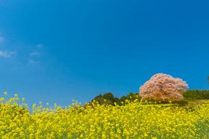 馬場の山桜の写真素材 [FYI03224162]