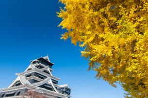 熊本城のイチョウの写真素材 [FYI03224168]
