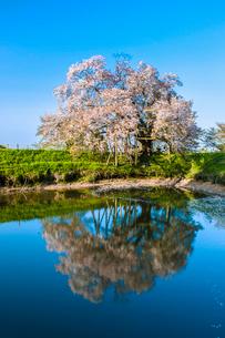 浅井の一本桜の写真素材 [FYI03224169]