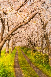 流川の桜並木の写真素材 [FYI03224170]