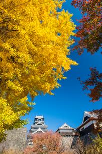 熊本城のイチョウの写真素材 [FYI03224173]