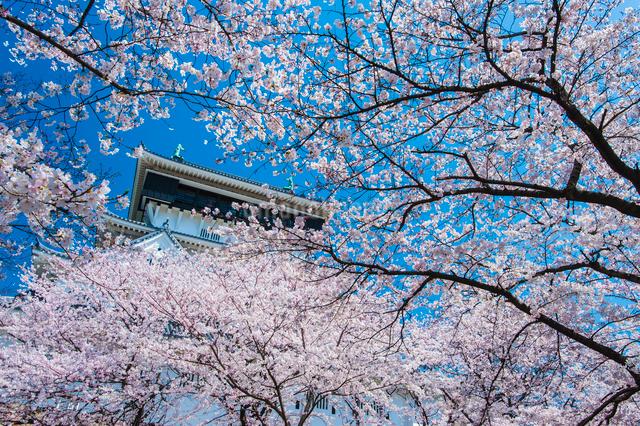 小倉城の桜の写真素材 [FYI03224174]
