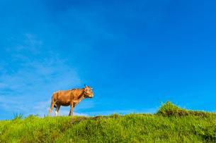 阿蘇の赤牛の写真素材 [FYI03224208]