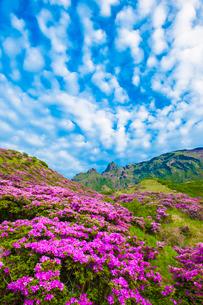 仙酔峡のミヤマキリシマの写真素材 [FYI03224210]