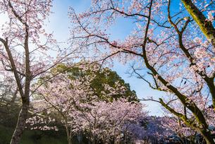 秋月杉の馬場の桜の写真素材 [FYI03224243]