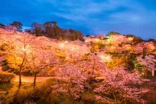夜桜の菊池公園の写真素材 [FYI03224247]
