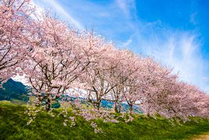 流川の桜並木の写真素材 [FYI03224248]