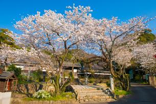 春光寺の桜の写真素材 [FYI03224253]