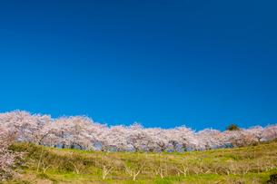 夕月神社の桜の写真素材 [FYI03224254]