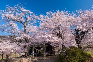 夕月神社の桜の写真素材 [FYI03224270]