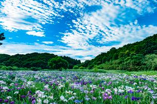 神楽女湖の花菖蒲の写真素材 [FYI03224272]