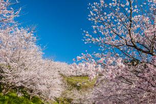 夕月神社の桜の写真素材 [FYI03224273]