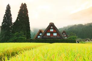 秋の白川郷 合掌造り集落に稲田と朝焼けの霧の写真素材 [FYI03224538]