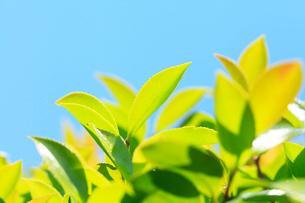 新緑の葉と青空の写真素材 [FYI03224553]