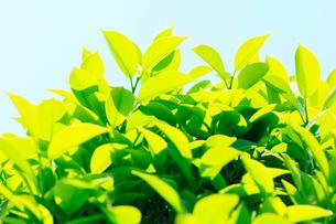 新緑の葉と青空の写真素材 [FYI03224557]