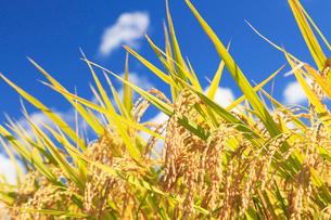 稲穂と青空に雲の写真素材 [FYI03224562]