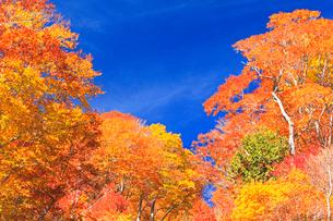 紅葉の木立と秋の空の写真素材 [FYI03224586]