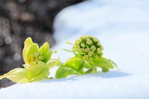 フキノトウに残雪とせせらぎの写真素材 [FYI03224590]