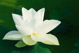 ハスの花の写真素材 [FYI03224601]