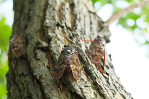 街路樹にセミの写真素材 [FYI03224621]
