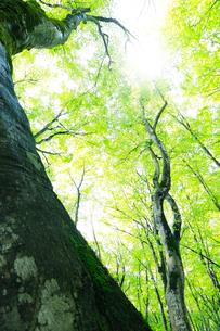 美人林 新緑のブナの写真素材 [FYI03224641]