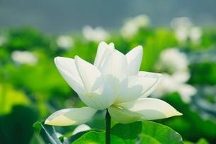 ハスの花の写真素材 [FYI03224646]