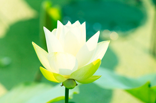 ハスの花の写真素材 [FYI03224647]