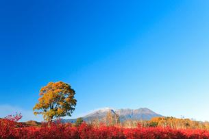 木曽馬の里,コナラの一本木とブル-ベリ-の紅葉に朝の御嶽山の写真素材 [FYI03224708]