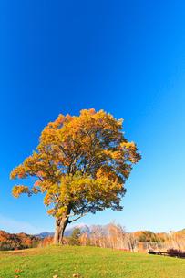 木曽馬の里,コナラの一本木と紅葉に朝の御嶽山の写真素材 [FYI03224711]