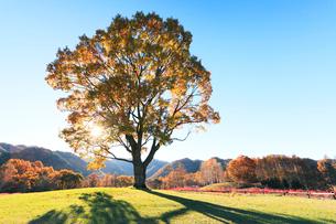 木曽馬の里,コナラの一本木に朝日と紅葉の木立の写真素材 [FYI03224713]
