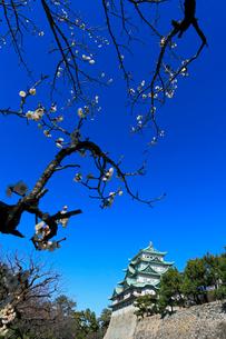 名古屋城天守閣とウメの写真素材 [FYI03224726]