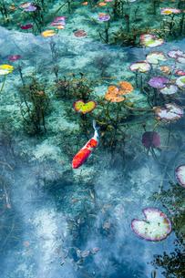 モネの池に浮かぶ蓮の葉と泳ぐ鯉の写真素材 [FYI03224895]