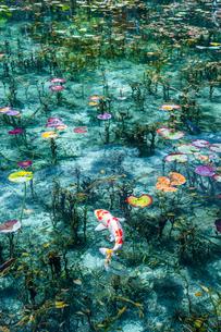 モネの池に浮かぶ蓮の葉と泳ぐ鯉の写真素材 [FYI03224897]