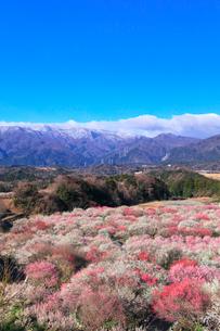 いなべ市農業公園 花咲く梅林公園と残雪の鈴鹿山脈の写真素材 [FYI03224968]