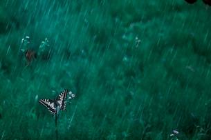 雨に濡れる蝶の写真素材 [FYI03224985]