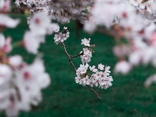 満開の桜と芝生の写真素材 [FYI03224990]