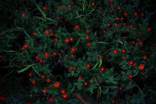 たくさんの小さな赤い花の写真素材 [FYI03224993]