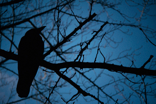 日暮れに木の枝でとまっているカラスのシルエットの写真素材 [FYI03224994]