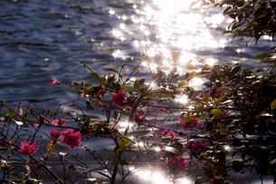 赤い花と光る池の水面の写真素材 [FYI03224995]