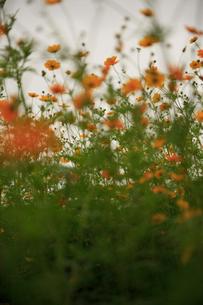 オレンジ色の咲き乱れるコスモスの写真素材 [FYI03224996]