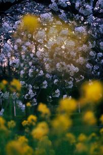 満開の桜と菜の花の写真素材 [FYI03224998]